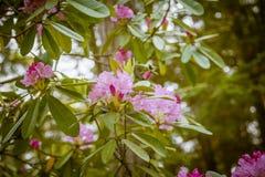 Il bello rododendro rosa fiorisce su uno sfondo naturale Fotografia Stock Libera da Diritti