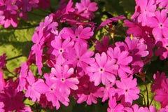 Il bello rosa della molla fiorisce il sieboldii della primula Fotografia Stock