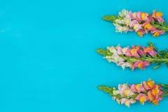 Il bello rosa della molla fiorisce sulla vista pastello blu del piano d'appoggio Bordo floreale dentellare Disposizione piana immagini stock libere da diritti