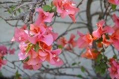 Il bello rosa fiorisce la parete bianca Fotografie Stock Libere da Diritti