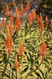 Il bello rosso arancio fiorisce in fiore di aloe vera al sole Immagine Stock Libera da Diritti
