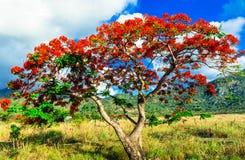 Il bello rosso esotico fiorisce le chiamate dell'albero fotografie stock libere da diritti