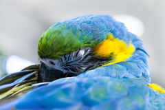 Il bello sonno giallo e blu del pappagallo dell'ara Fotografia Stock