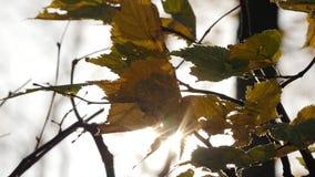 Il bello Sun splende con il salto su verde dell'albero del vento e sulle foglie gialle stock footage