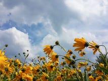 Il bello topinambur giallo fiorisce e cielo nuvoloso blu Immagini Stock Libere da Diritti