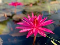 Il bello tramonto arancio rosa del sidro di pere del fiore di loto o della ninfea La nymphaea è riflessa nell'acqua fotografia stock