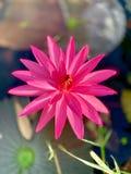Il bello tramonto arancio rosa del sidro di pere del fiore di loto o della ninfea La nymphaea è riflessa nell'acqua fotografie stock libere da diritti