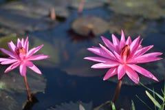 Il bello tramonto arancio rosa del sidro di pere del fiore di loto o della ninfea La nymphaea è riflessa nell'acqua immagini stock libere da diritti