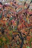 Il bello typhina decorativo del Rhus dell'albero nei colori dell'autunno fotografia stock libera da diritti