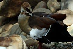 Il bello uccello acquatico pulisce le piume, un'anatra fotografia stock libera da diritti