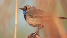 Il bello uccello della molla canta una canzone che si siede su un movimento lento del ramo stock footage