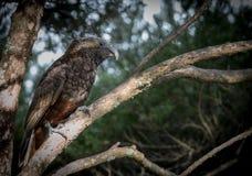 Il bello uccello pericoloso della Nuova Zelanda Kaka si appollaia nelle ombre di un albero del tè Fotografia Stock