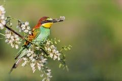 Il bello uccello selvaggio si siede su un ramo di un'acacia con una farfalla in suo becco fotografia stock libera da diritti