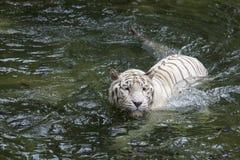 Il Bengala bianco Tiger Swimming Fotografia Stock