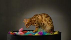 Il Bengala di razza Cat Catches Feather video d archivio
