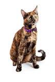 Il Bengala Kitty Cat Looking da parteggiare immagini stock libere da diritti