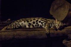 Il bengalensis di Prionailurus nello zoo sta dormendo fotografie stock