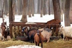 Il bestiame all'inverno coltiva Animali da allevamento che mangiano fieno dalla rogna Fotografia Stock