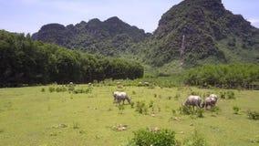Il bestiame asiatico pasce sul campo alla vista aerea rurale della terra archivi video