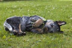 Il bestiame australiano insegue il cucciolo che si rilassa sull'erba Fotografia Stock