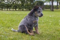 Il bestiame australiano insegue il cucciolo sull'erba verde Fotografia Stock