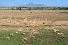 Il bestiame che coltiva in Phan ha suonato, il Vietnam Immagine Stock