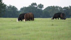 Il bestiame che pasce sull'estate pascola con priorità alta in bianco immagini stock