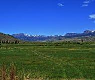 Il bestiame dell'alta montagna pascola davanti alla catena montuosa di Absaroka sotto il cirro dell'estate ed alle nuvole lentico Immagini Stock Libere da Diritti