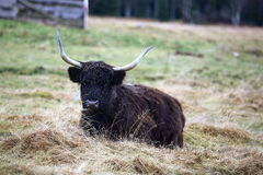 Il bestiame dell'altopiano, gaelico scozzese, parco Sumava, Boemerwald, repubblica Ceca Fotografia Stock Libera da Diritti