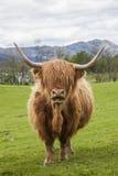 Il bestiame famoso di Scotish Fotografia Stock Libera da Diritti