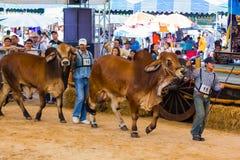 Il bestiame mostra 2012 Fotografie Stock Libere da Diritti