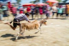 Il bestiame mostra 2015 Immagine Stock Libera da Diritti