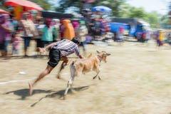 Il bestiame mostra 2015 Fotografia Stock Libera da Diritti
