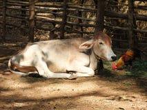 Il bestiame si distende Immagine Stock