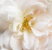Il bianco è aumentato Fotografie Stock