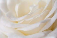 Il bianco è aumentato Fotografia Stock Libera da Diritti