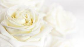 Il bianco è aumentato Fotografia Stock