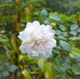 Il bianco è aumentato Bello fiore in giardino Priorità bassa floreale Immagini Stock
