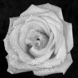 Il bianco è aumentato con rugiada Fotografie Stock