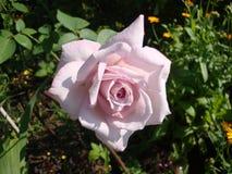 Il bianco è aumentato Le foglie verdi scolpite provocano il fiore immagini stock