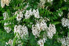 Il bianco è un fiore molto variopinto dell'acacia Immagine Stock