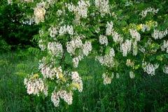Il bianco è un fiore molto variopinto dell'acacia Fotografia Stock Libera da Diritti