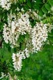 Il bianco è un fiore molto variopinto dell'acacia Fotografie Stock