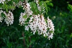 Il bianco è un fiore molto variopinto dell'acacia Immagini Stock