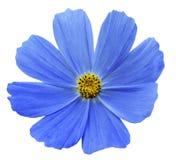 Il bianco blu di Kosmeja del fiore ha isolato il fondo con il percorso di ritaglio Nessun ombre closeup Fotografia Stock