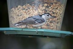Il bianco breasted la sitta su un alimentatore dell'uccello del cortile immagini stock libere da diritti