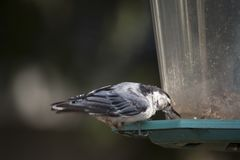 Il bianco breasted la sitta su un alimentatore dell'uccello del cortile fotografia stock