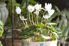 Il bianco cyclamen Fotografia Stock