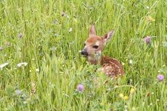 Il bianco del bambino ha munito Fawn Curled di coda su nel prato del Wildflower Immagini Stock Libere da Diritti