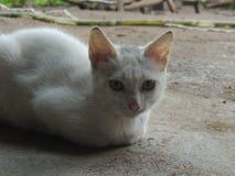 Il bianco del gatto Immagini Stock Libere da Diritti